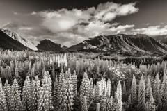 Lupins (lupinus) at arthur's pass, black and white with a sepia tint, south i Stock Photos