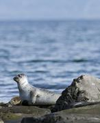 Stock Photo of harbour or harbor seal (phoca vitulina), westfjords or west fjords, iceland,