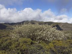 Lucerne tree or tagasaste (chamaecytisus proliferus), fortaleza, la gomera, c Stock Photos