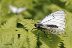 Black-veined white (aporia crataegi), baikal, siberia, russian federation, eu Stock Photos