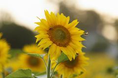 Sunflower (helianthus annuus), muehlviertel region, upper austria, austria, e Stock Photos