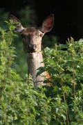 Red deer (cervus elaphus), female, hind, watchful between nettles, allgaeu, b Stock Photos