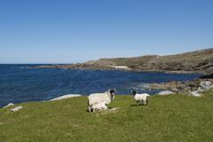 Stock Photo of sheep, ewe with lambs, one suckling, atlantic coast, county donegal, republic