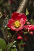 Flowering quince (chaenomeles superba) Stock Photos