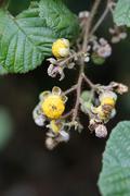 yellow himalayan raspberry (rubus ellipticus), invasive species, big island,  - stock photo