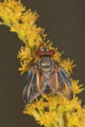tachinid fly (phasia hemiptera) on canadian goldenrod (solidago canadensis),  - stock photo