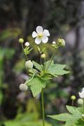 Japanese anemone, thimbleweed (anemone hupehensis), invasive plant, big islan Stock Photos