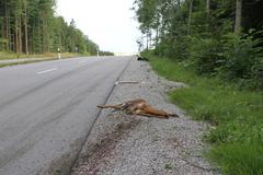 roe deer (capreolus capreolus), road casualty lying by the roadside, allgaeu, - stock photo