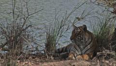 Bengal tiger(Panthera tigris tigris) Stock Footage