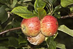 Organic apples, mould, rot, crop failure Stock Photos