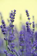 Lavender (lavandula angustifolia, syn. lavandula officinalis, lavandula vera) Stock Photos