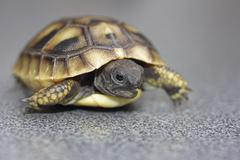 Hermann's tortoise (testudo hermanni), hatchling Stock Photos