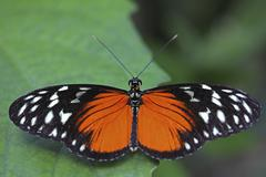 Longwing butterfly (heliconius sp.), with open wings, mainau island, baden-wu Stock Photos