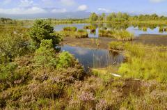 Stock Photo of moor landscape with flowering heather, bog on the edge of the alps, nicklheim