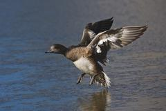 american wigeon (anas americana), adult female landing on ice, bosque del apa - stock photo