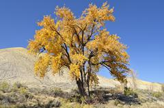 Stock Photo of fremont cottonwood (populus fremontii), autumn leaves, adobe buttes, ward cre