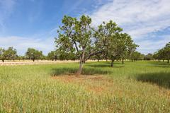 almond trees (prunus dulcis), el toro, mallorca, majorca, balearic islands, s - stock photo