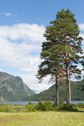 Stock Photo of old pine trees or scots pines (pinus sylvestris), lake bandak, dalen, telemar