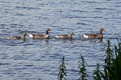 greylag geese (anser anser), family of geese, aussenalster or outer alster la - stock photo