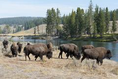 Herd of american bison (bison bison) at yellowstone river, yellowstone nation Stock Photos