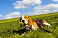 Tricolour beagle, male chewing on an object Stock Photos