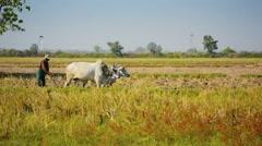 Naypyidaw union territory, burma - circa jan 2013: farmer plowing a field wit Stock Footage