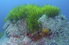 eelgrass (zostera marina), japan sea, far east, primorsky krai, russian feder - stock photo