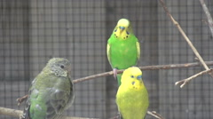 Cockatiels in aviary - stock footage