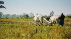 Naypyidaw union territory, burma - circa jan 2013: two cows and a wooden plow Stock Footage