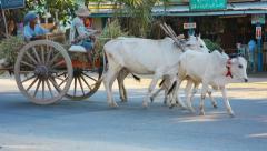 Naypyidaw union territory, burma - circa jan 2013: usual cows used for field Stock Footage