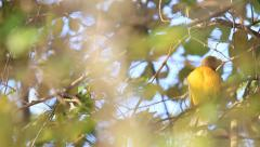 Asian golden weaver bird cleaning his wings over the tree Stock Footage