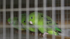 Stock Video Footage of Cockatiels in aviary