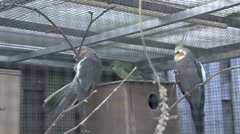 Cockatiels in aviary slowmotion - stock footage