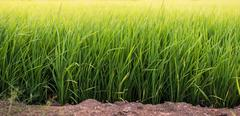 The rice field Stock Photos
