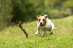 Stock Photo of Jack Russell Parson Terrier Chasing His Toy At Full Speed Low Angle Fast Action