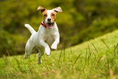 Jack Russell Parson Terrier Running Toward The Camera Low Angle High Speed Shot Stock Photos