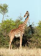 Giraffe on savanna, full view. safari in serengeti, tanzania, africa Stock Photos
