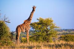 Giraffe on savanna. safari in serengeti, tanzania, africa Stock Photos