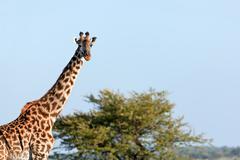 Giraffe on savanna portrait. safari in serengeti, tanzania, africa Stock Photos