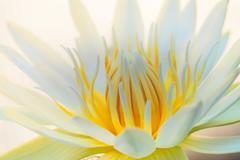 white lotus yellow pollen - stock photo