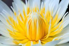 White lotus yellow pollen Stock Photos