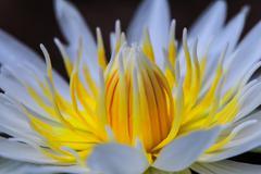 white lotus yellow pollen - stock photo
