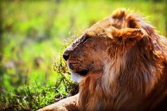 Young adult male lion on savanna. safari in serengeti, tanzania, africa Stock Photos