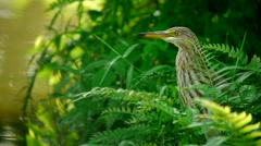 Indian Heron Stock Footage
