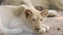 Close up a young white lion resting on ground. Stock Footage