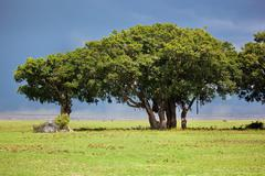 tree on savannah. ngorongoro, tanzania, africa - stock photo