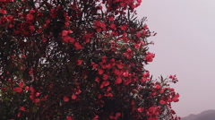 Stock Video Footage of tropical gardens, pink oleander flowers, poisonous, shrubs, trees