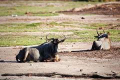 Wildebeests, gnu on afrikkalainen savanni, kenia Kuvituskuvat