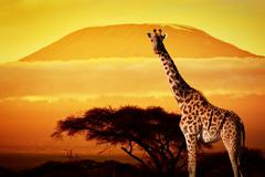 Stock Photo of giraffe on savanna landscape background and mount kilimanjaro at sunset