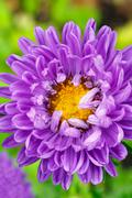 Purple Aster Flower - stock photo